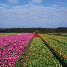 flores-de-holanda